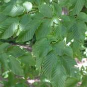 Hornbeam (Feathered Trees)