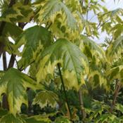 Acer Drummondii (Feathered Trees)