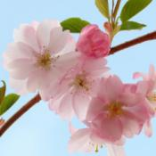 Flowering Cherry (Feathered Trees)