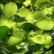 Green Beech (Feathered Trees)